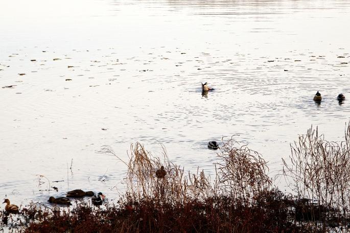 Lots of ducks feeding