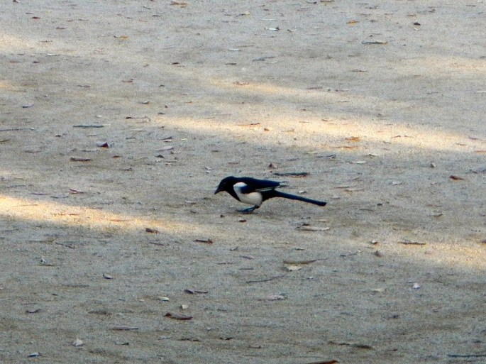 Magpie looking for food