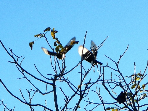 Magpies flying away