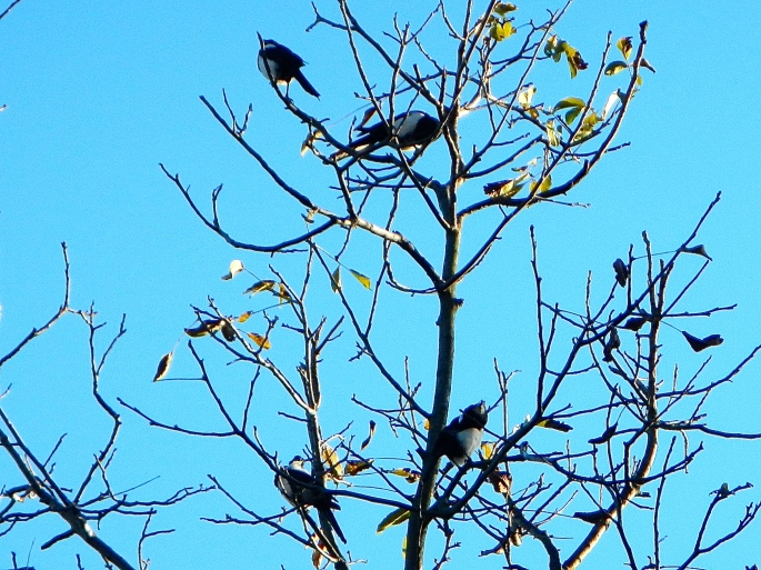 Magpies in tree