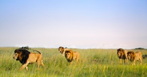 Male lion with sons