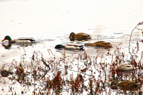 Mallards feeding along shorline