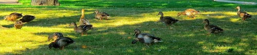 Mallards feeding in grass