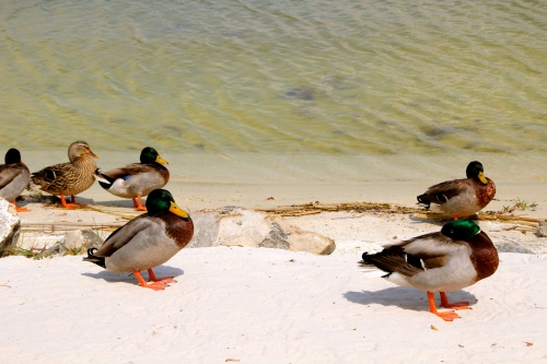 Mallards on beach