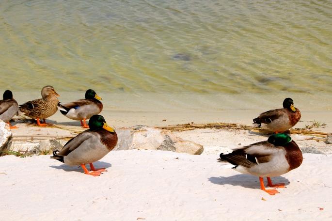 Mallards on beach