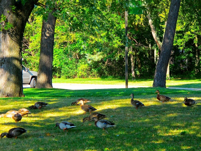 Mallards on grass