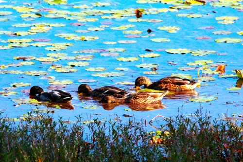 Mallards on lake