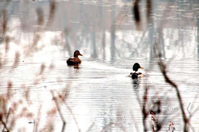 Mallards on our lake in fall