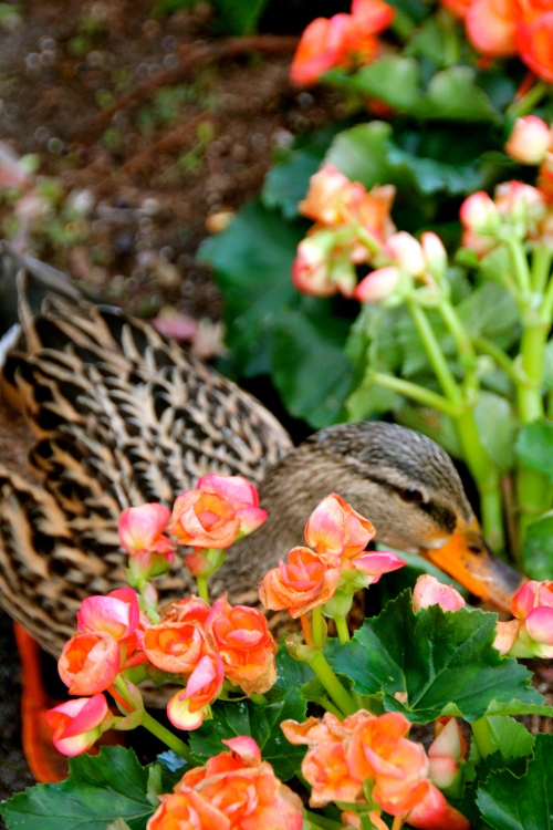 Mother Duck in garden