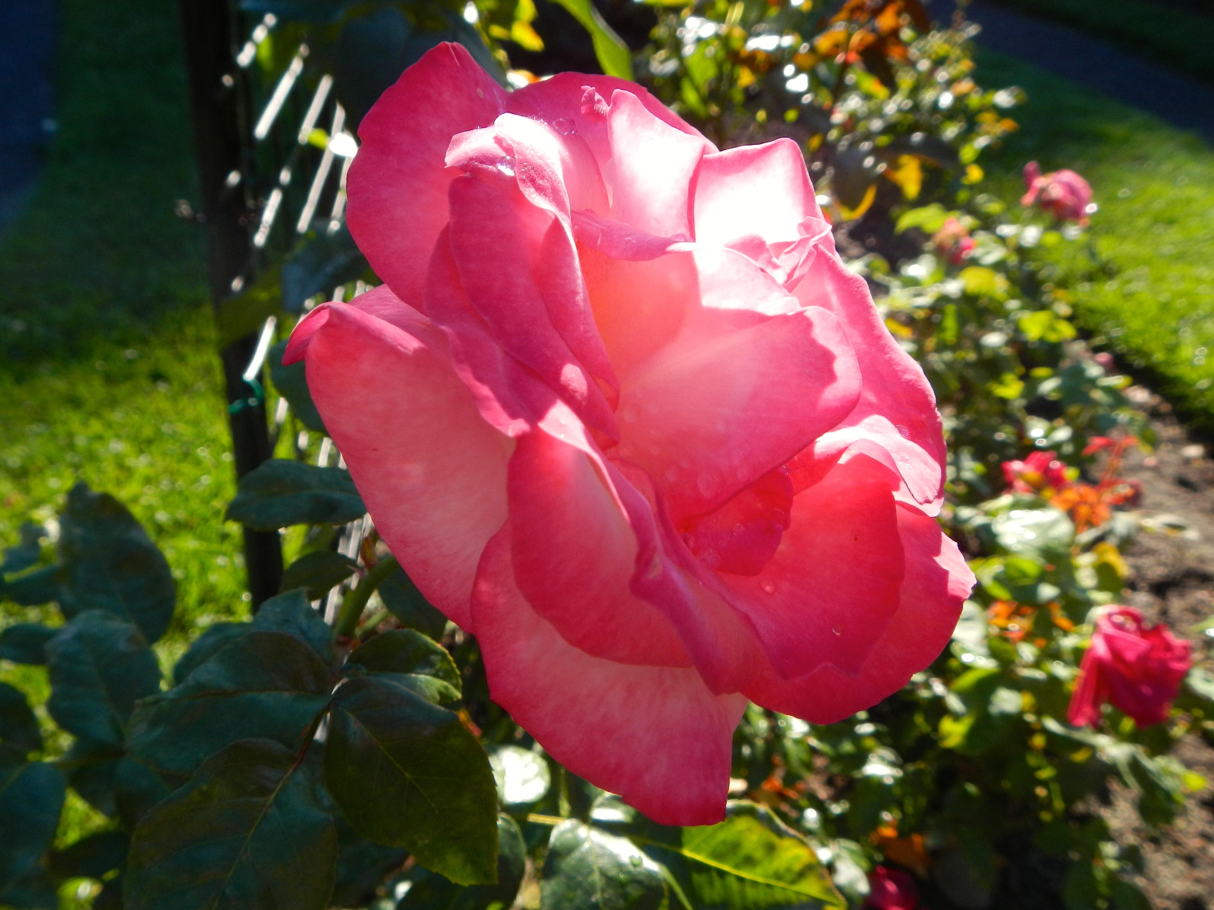 Pink rose in sunshine