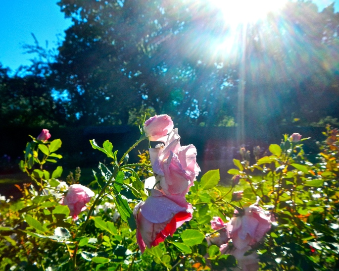Pink Roses in Sun