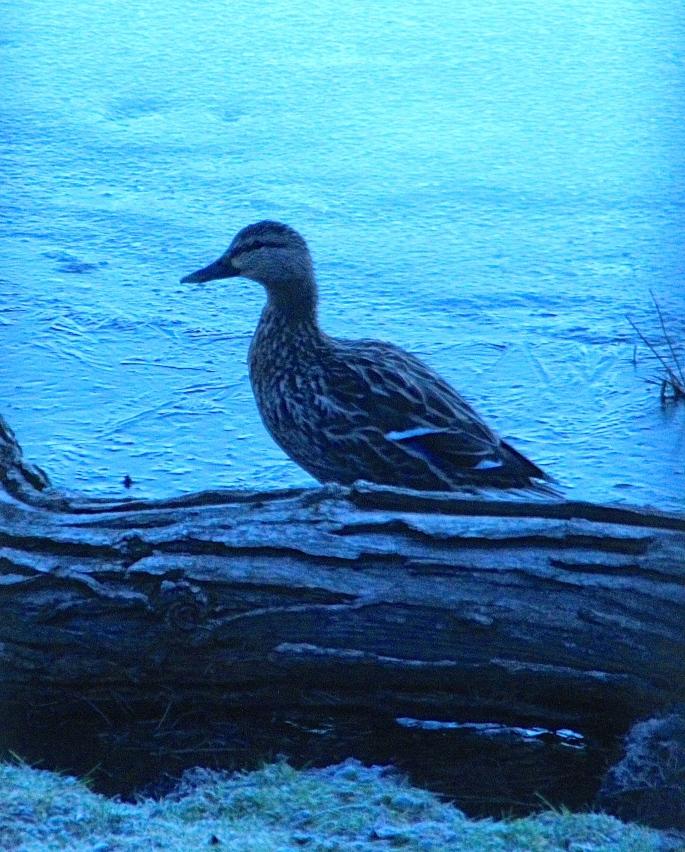Return of Ducks. April