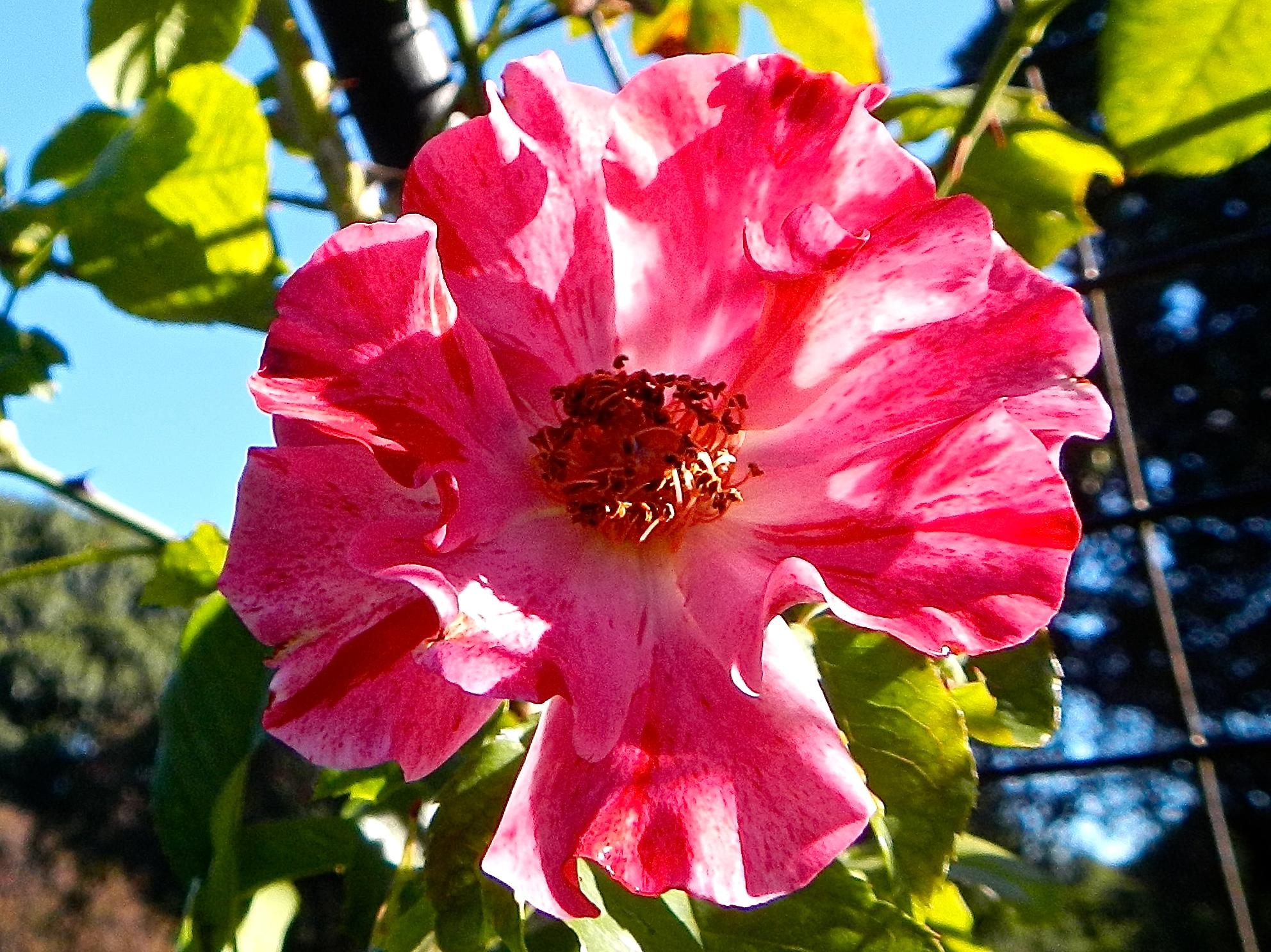 Rose. Red