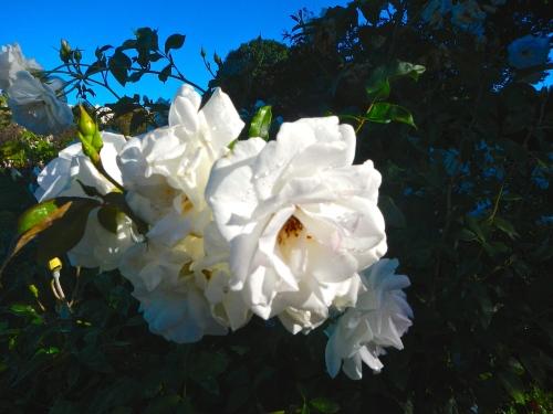 Roses. White