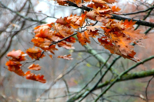Windy Autumn Oak Leaves