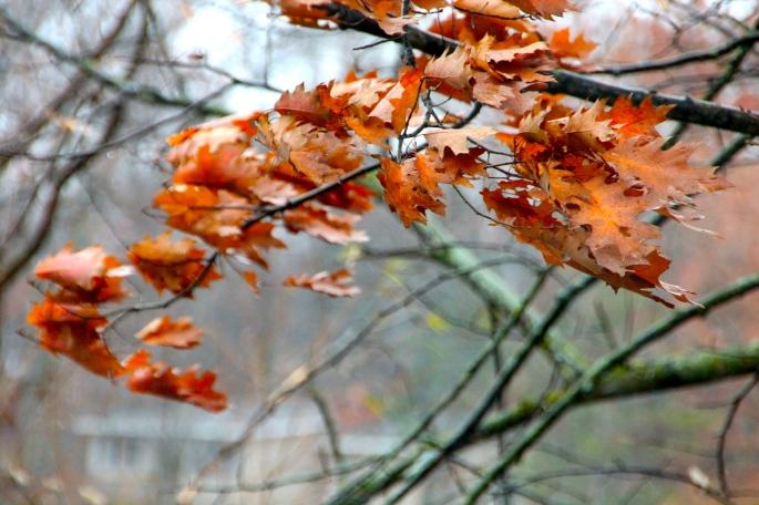 Windy Autumn Oak Leaves