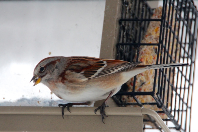 American Tree Sparrow at feeder