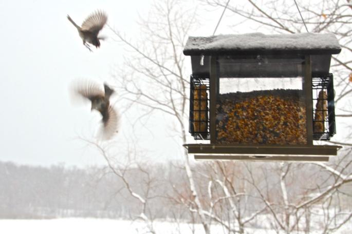 Birds fighting at birdfeeder