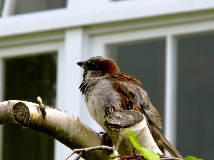 English Sparrow Chick