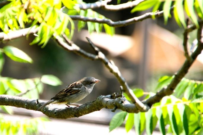 Female English Sparrow