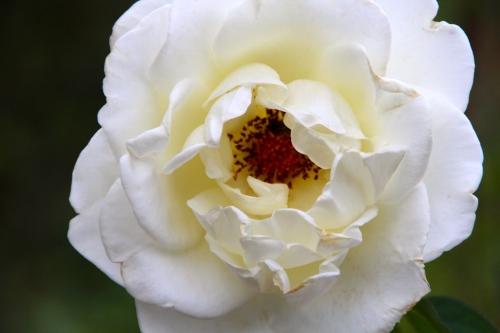 Fully open White Rose