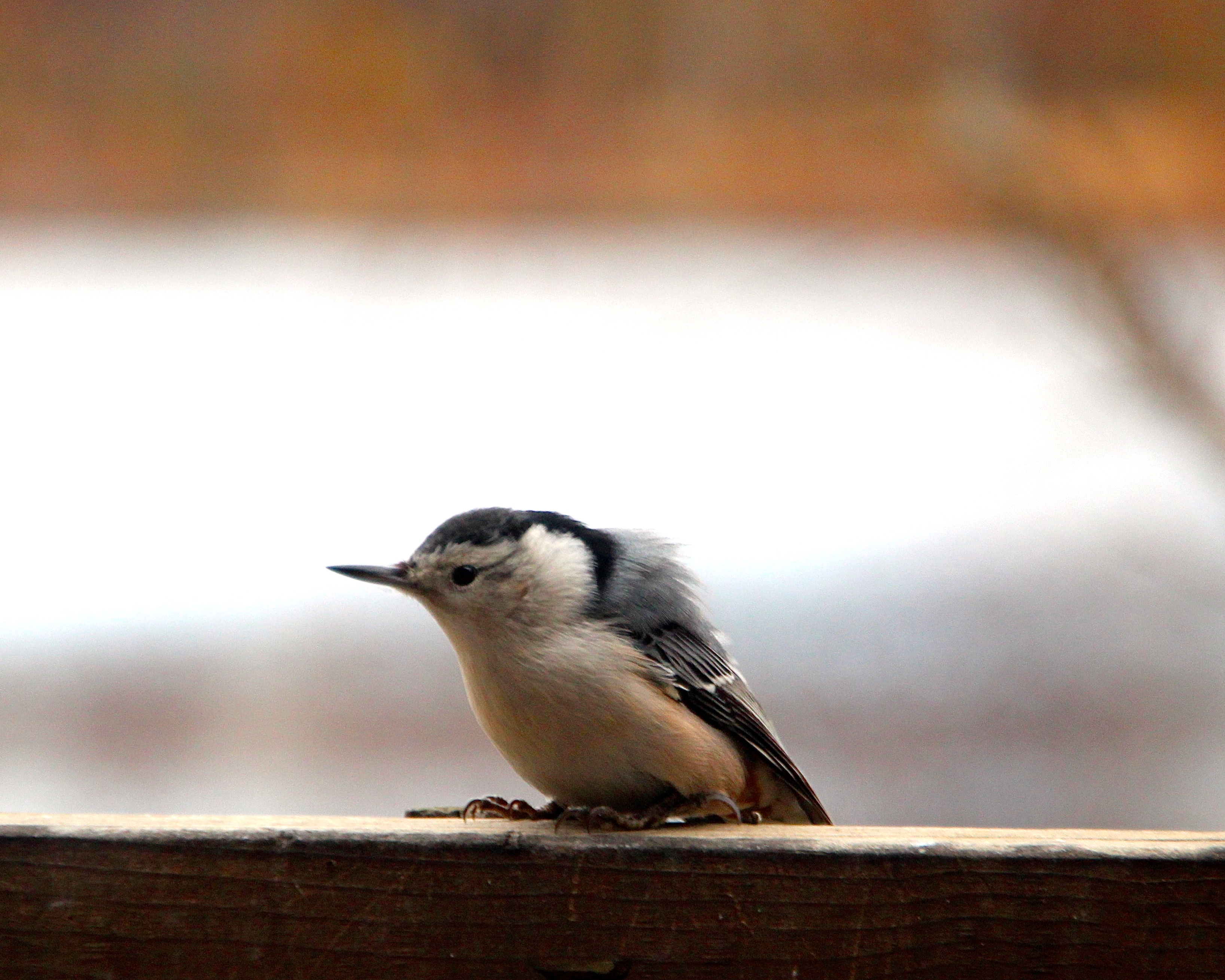 Nuthatch. Ruffled Pinfeathers copy