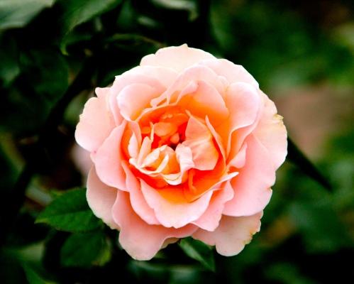 Peach Rose copy