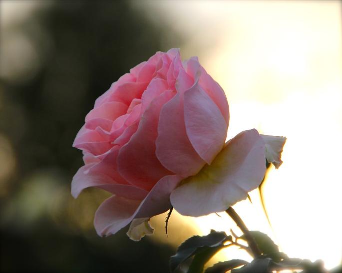 Pink Rose B.W