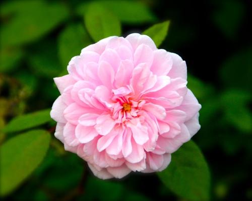 Pink Rose copy