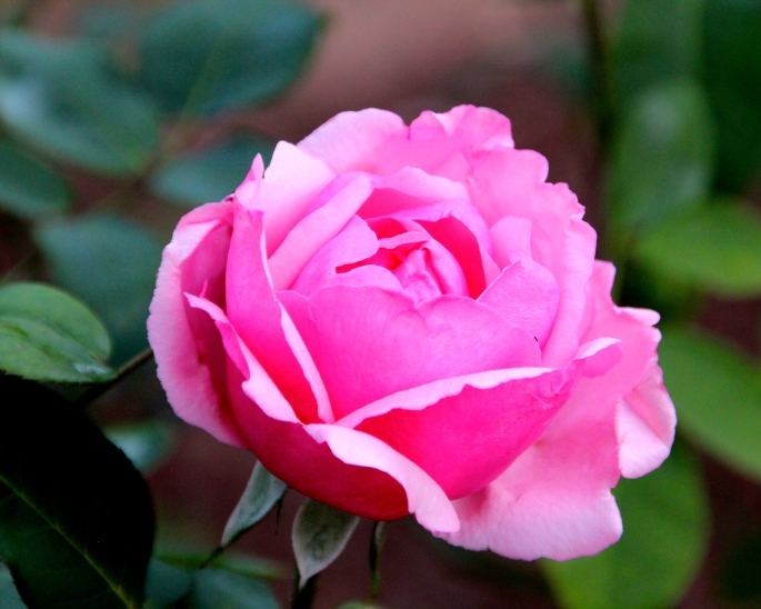 Pink Rose fully blooming copy