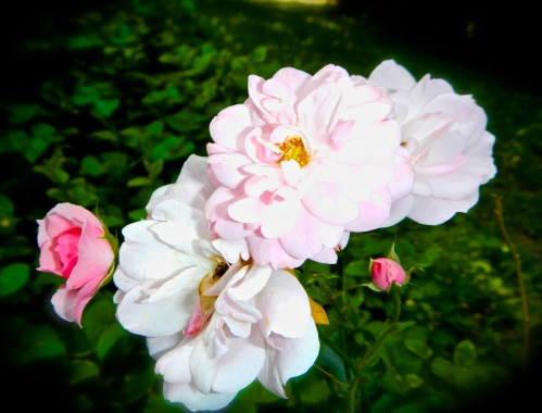 Roses, pink July  copy