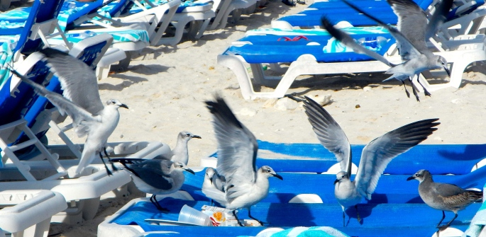 Seagulls landing for lunch