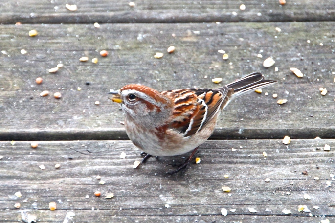 Song Sparrow on deck