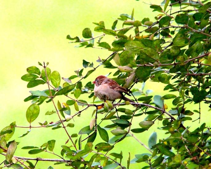 Sparrow Chick in bush