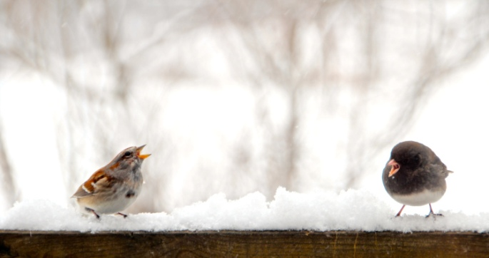 Sparrow fighting with Junco