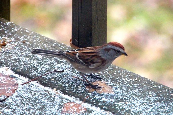 Sparrow. First snow