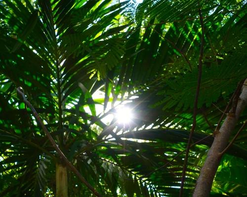 Sun behind Palms