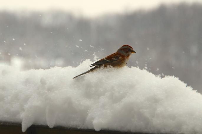 Tree Sparrow in snow