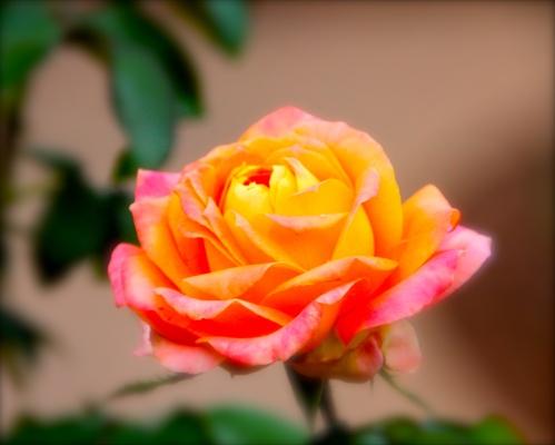 Yellow Orange Rose copy