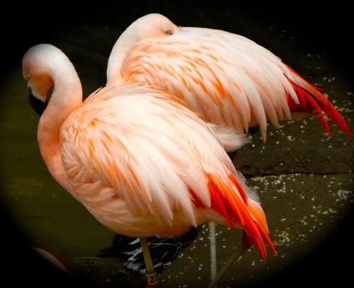 Beautiful flamingo feathers