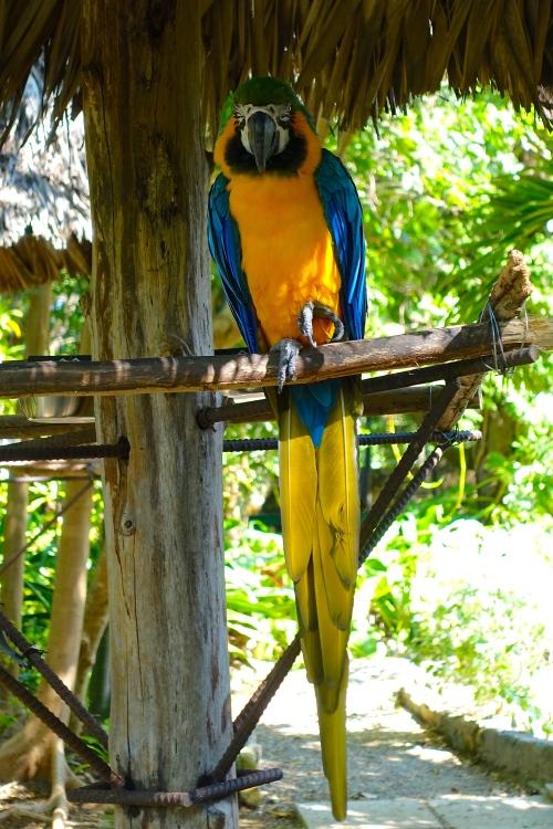 Blue Macaw Bahamas
