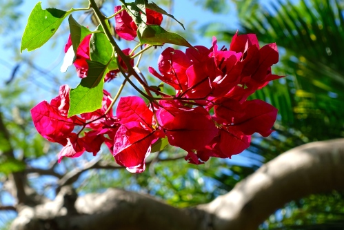 Bougainvillea in Bahamas