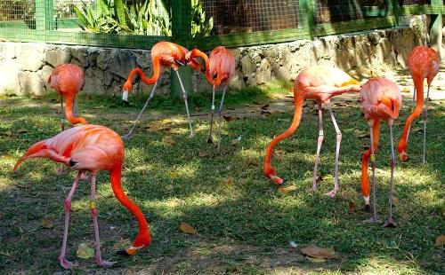 Bright orange flamingos