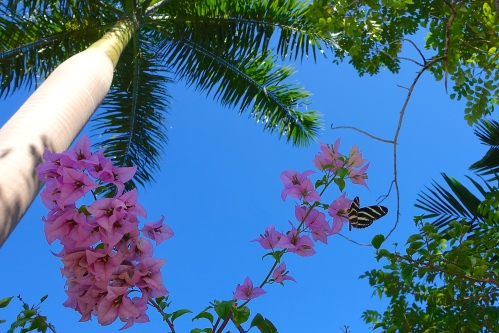 Butterfly and Pink Bougainvillea