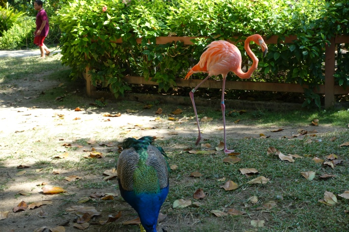 Flamingo and Peacock