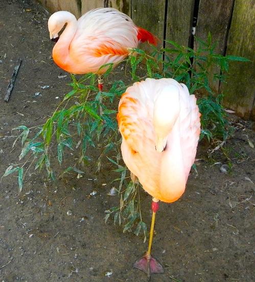 Flamingo on 1 foot