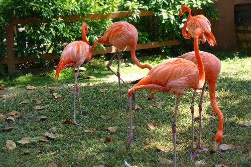 Flamingoes Walking