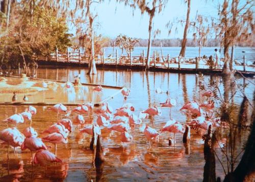 Flamingos Color copy