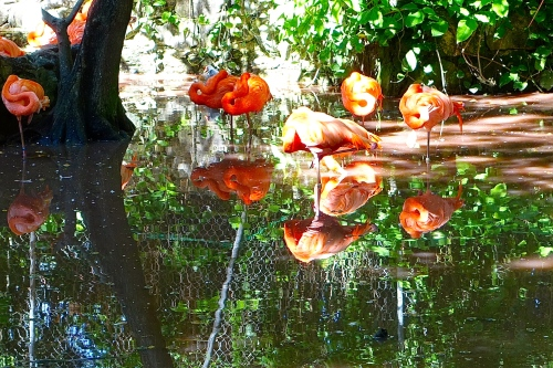 Flamingos reflected in pool
