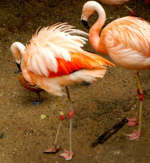 Flamingos stretching
